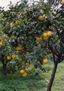 Bergamot Tree
