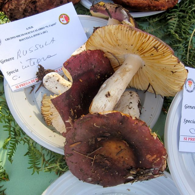 Russula integra (Entire Russula)