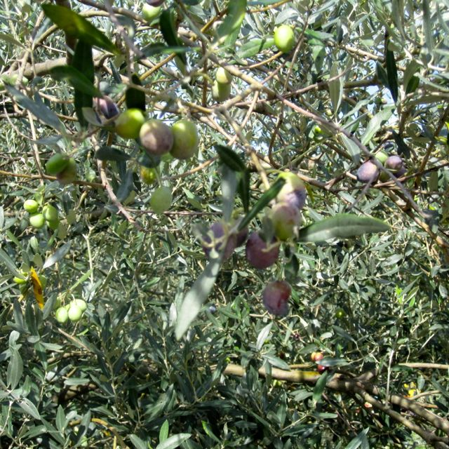 Olive Tree, Calabria