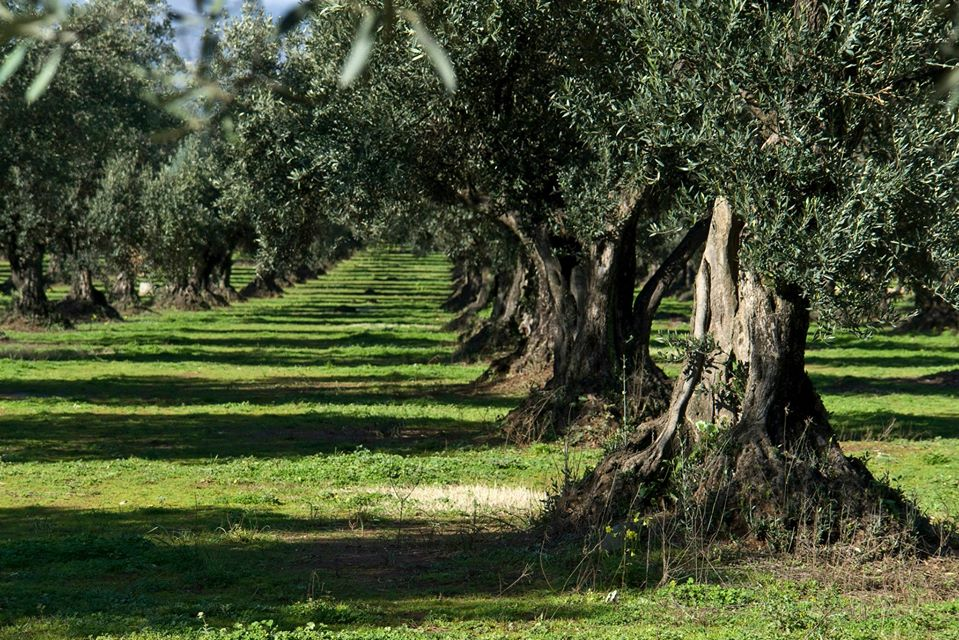 Calabrian olive trees