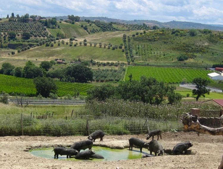 suino nero di Calabria